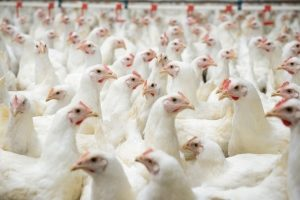 Die Approbationsordnung für Tierärzte sieht unter anderen ein Praktikum auf einem Schlachthof vor.