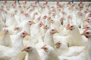 Bio-zertifiziert wird Fleisch nur, wenn bei der Herstellung kaum bis keine gentechnisch veränderten Organismen verwendet werden.