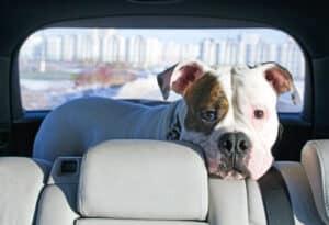 In einem Bus zu fahren mit dem Hund ist erlaubt, Sie sollten dennoch Rücksicht auf andere Menschen nehmen.