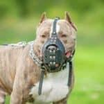 Die Einreisebestimmungen für den Hund von Frankreich sehen vor, dass Kampfhunde mit Stammbaumnachweis einen Maulkorb tragen müssen. Hunde ohne Stammbaum sind nicht erlaubt.
