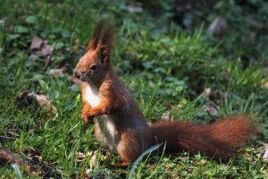 Eichhörnchen sind keine Fundtiere, da Sie keinen Besitzer haben.