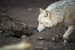 Jagdrecht: Der Wolf darf als geschützte Art nicht gejagt werden.
