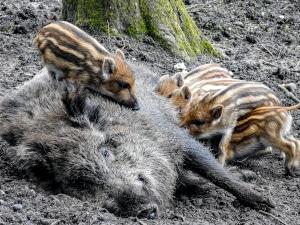 Grund für die ganzjährige Jagdzeit für Schwarzwild ist der hohe Tierbestand. Dennoch ist die Jagd während der Setzzeit verboten.