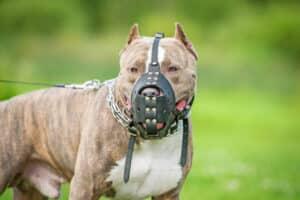 Nicht nur der Mastino gilt als Kampfhund. Auch Staffordshire gelten als gefährlich.