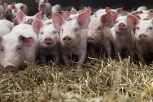 Nutztiere wie Schweine oder Kühe müssen genauso gegen Tierquälerei geschützt werden wie Hunde und Katzen.