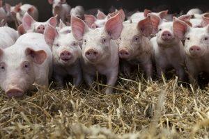 Die ökologische Tierhaltung erfreut sich immer größerer Beliebtheit.