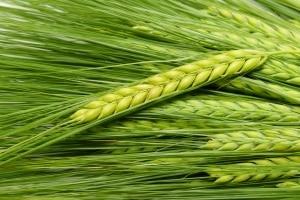 Mit dem Pflanzenschutzgesetz sollen insbesondere Kulturpflanzen geschützt werden.