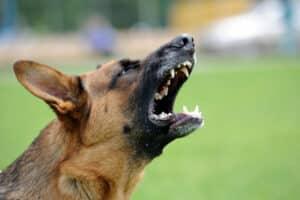 Ein Schäferhund kann als Kampfhund gelten, wenn er ein aggressives Verhalten zeigt.
