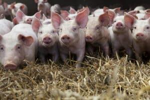 Tierrechte haben auch etwas mit unserer Ernährung zu tun.