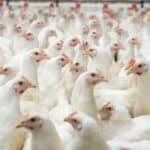 Die Tierseuchenverordnung beinhaltet auch Bestimmungen zur Geflügelpest.