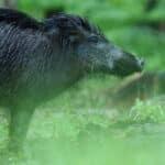 Begegnung mit einem Wildschwein: Ein Unfall kann die Folge sein.