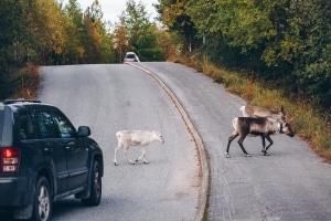 Ein Wildunfall geschieht häufig, weil unerwartet mehrere Tiere auf die Straße laufen.